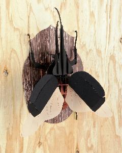 <昆虫標本>ヘラクレスオオカブト 壁掛けタイプ
