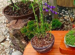 【信楽焼 植木鉢】黒泥三ツ足 4号(植物付き)