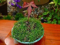 【信楽焼 植木鉢】青銅丸足付皿3.5号(植物付)