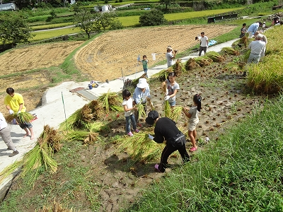 お米作りにチャレンジ(稲刈りです)