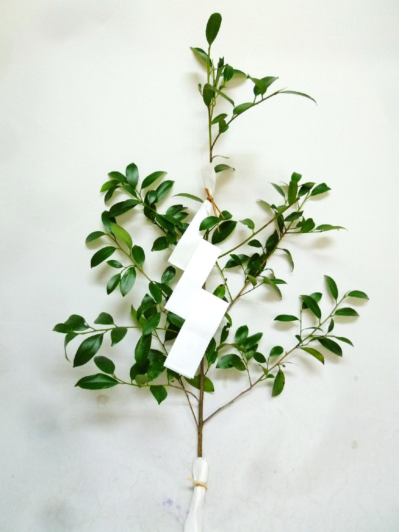 榊「祓い串・枝」:国産【御幣(紙垂)付き】