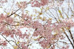 さくら 【4/8】