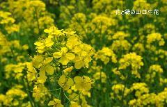 菜の花 【3/31】