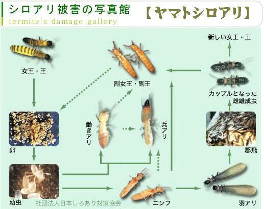 ヤマトシロアリ|白蟻 駆除 予防...