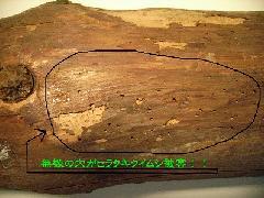 キクイムシ対策 害虫被害写真 大阪市