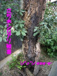 立ち木のシロアリ被害写真 泉佐野市