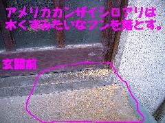 アメリカカンザイシロアリの糞 乾材白蟻被害写真