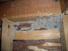 高石市のイエシロアリ被害 天井に分巣(中間巣)