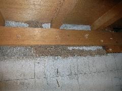 イエシロアリの巣に近い蟻道 茶色い羽アリ出現で被害発見