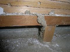 分厚いコンクリートを突破したイエシロアリの蟻道