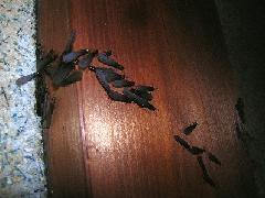 2018年も4月中旬からヤマトシロアリの羽アリが飛びます