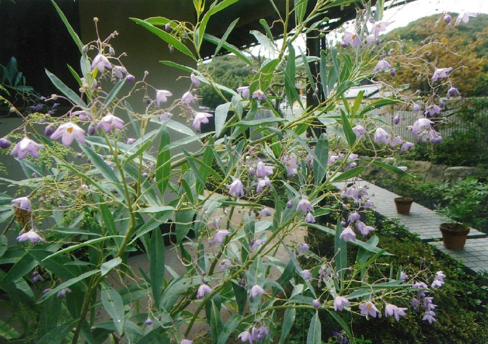 ルリヤナギの花