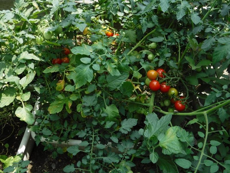 プチ菜園!!トマト