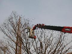 大型樹木剪定