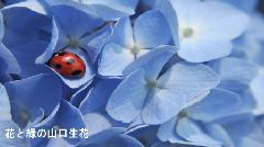 あじさい 【6/6】