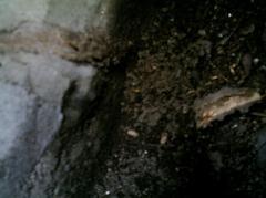束石からシロアリ侵入 防蟻写真 堺市