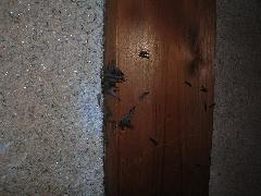 玄関柱からヤマトシロアリ羽アリ大量群飛 堺市