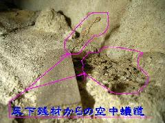 ヤマトシロアリの空中蟻道 貴重写真