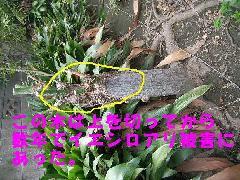 立ち木のイエシロアリ被害写真 和歌山県