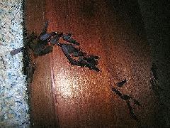 ヤマトシロアリの羽アリ大量発生 5月