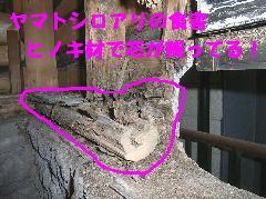 ヤマトシロアリ被害 風呂場から白蟻羽アリ
