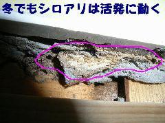 大阪府松原市駆除工事 冬場のシロアリも超活発